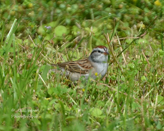 chipping sparrow-1862