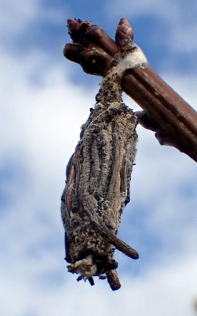 Stick Case Moth up close - Clania sp - Psychidae