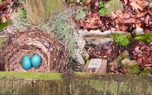 robin nc nest platform northcarolina eggs birdnest blueeggs jacksoncounty westernnorthcarolina socofalls davidhopkinsphotography