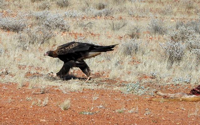 Wedge-tailed Eagle - Aquila audax - near Coober Pedy -