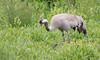 Common Crane (Grus grus) by George Wilkinson