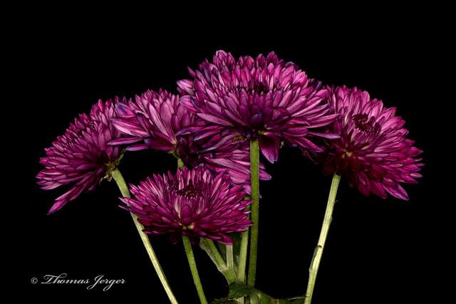 Purple Set on Black 1101 Copyrighted