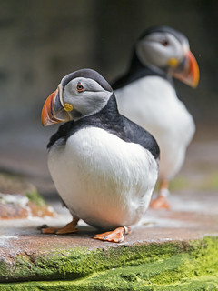 Two puffins | by Tambako the Jaguar