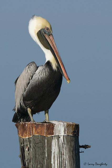 Posing Pelican........D800