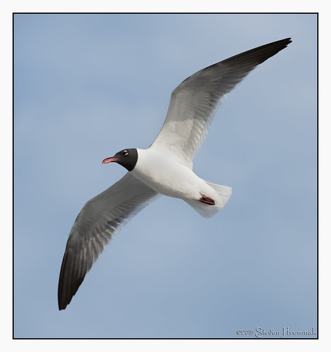 laughing florida seagull gull flight blackhead blackheadedgull pineisland laughinggull