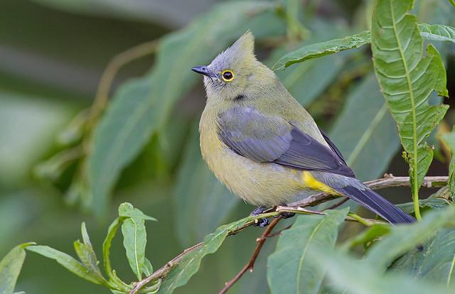 Long-tailed Silky-flycatcher / Langstaartzijdevliegenvanger
