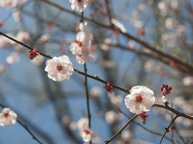 Prunus mume Apricot flowers
