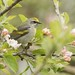 Golden-winged Warbler Female by Profiles of Nature