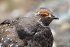 Sooty Grouse - Tétras fuligineux by shimmeringenergy