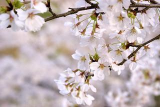 悠久山桜まつり2015 | by icoro.photos