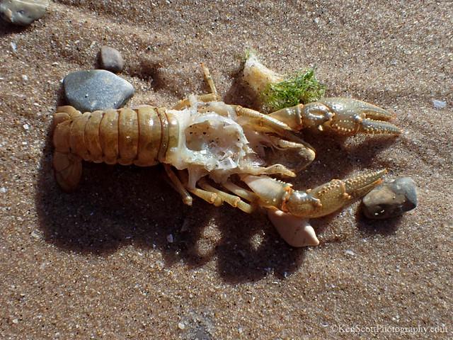 Lake Michigan ... crayfish