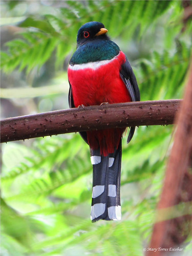 Trogon personatus | by Mary Torres E.
