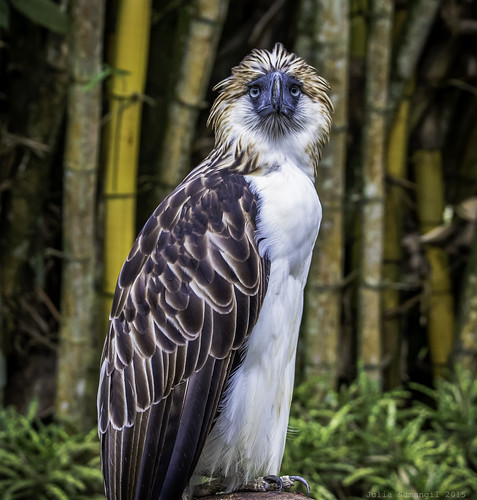 canon7dmark2 canon7dmarkii davao juliasumangil nationalbird philippineeagle philippinenationalbird philippines pithecophagajefferyi bird greatphilippineeagle julesnene monkeyeatingeagle davaocity davaoregion ph shaggy travelgirljulia