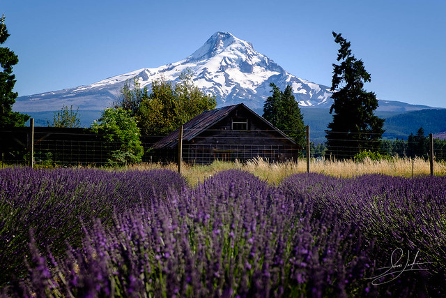 A view of Mount Hood from a Lavender field in Hood River