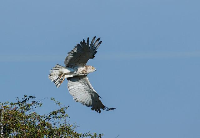 Circaète Jean-le-Blanc Circaetus gallicus - Short-toed Snake Eagle canon eos 7D MKII