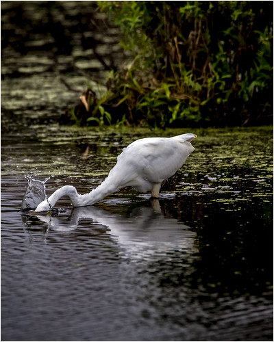 Diving Egret | by David Fehrman