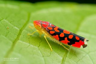 Leafhopper (Ladoffa dependens) - DSC_9342