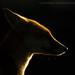 Vulpes vulpes by Greg Morgan wildlife