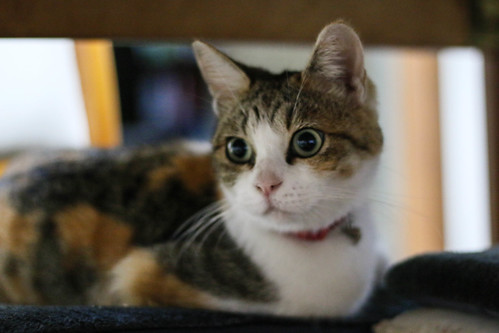 IMG_6962 Calico Japanese cat 縞三毛猫