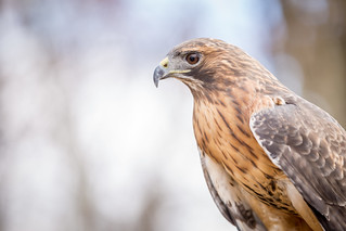 Red Tailed Hawk | by ShenandoahNPS