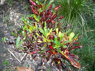 Croton 'Mammy' (codiaeum variegatum) | by Javierahr