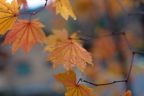 Chicken-Wire Fall Leaves | by Infinite_Divide