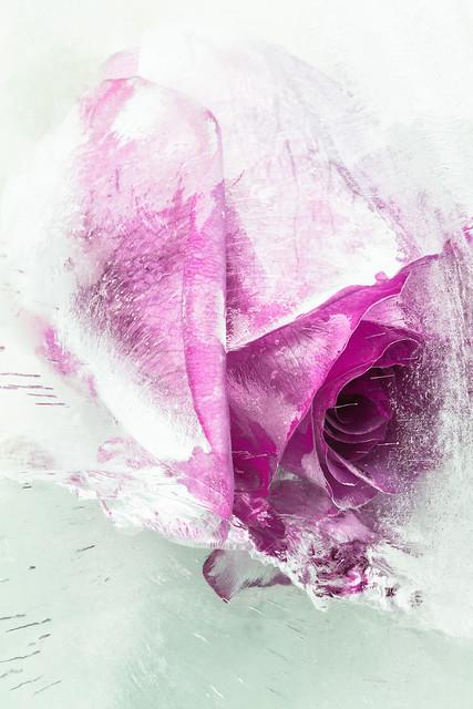 Purple Rose in Ice