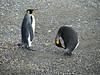 King penguin - Aptenodytes patagonicus by Linda DV