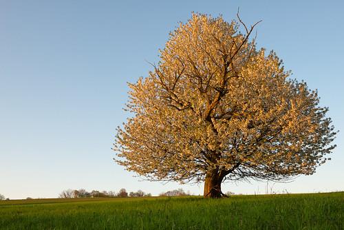 flowers sunset white tree deutschland spring sonnenuntergang eveningsun weiss baum saarland frühling abendsonne blüten sanktwendel