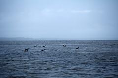 Swans in Denmark, WA