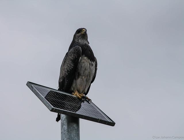 Aguila mora - Black-Chested Buzzard-Eagle