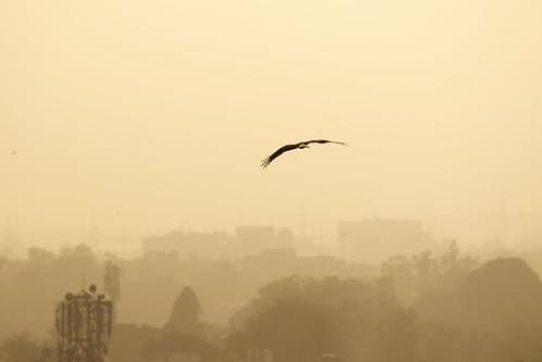 india bird animals asia eagle delhi places aerial newdelhi imagetype canonef70200mmf4lisusm photospecs stockcategories
