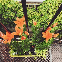 Asiatic lillies :heart_eyes: I cannot believe how pretty there are, and how much they've grown :heart:️:ok_hand: