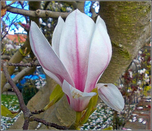 Magnolia  Flower ...