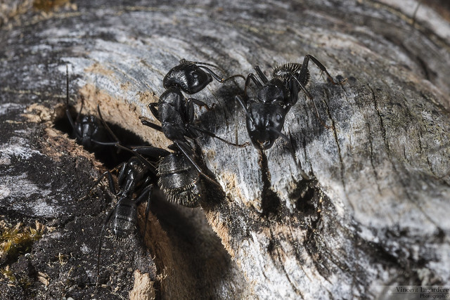 Camponotus ligniperda - Fourmi charpentière