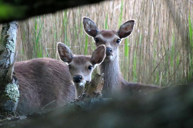 Deer on Brownsea Island