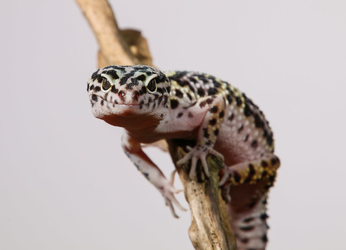 Leopard Gecko | by Chris Parker2012