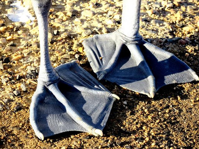 Australian Pelican's Feet - Pelecanus conspicillatus