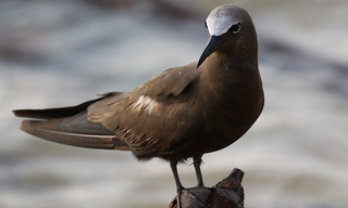 Brown Noddy | by IsaacCSanchez