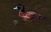 Blue billed duck Oxyura australis by Maureen Pierre