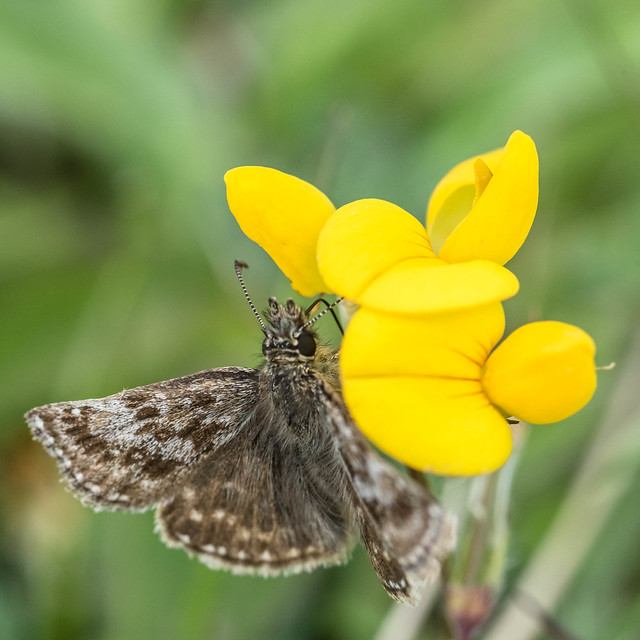 Dingy Skipper (Erynnis tages) on Bird's-foot Trefoil