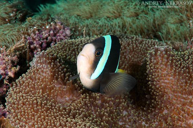 Sebae Anemonenfisch (Amphiprion sebae)