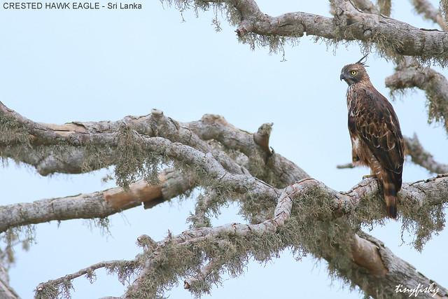 (463b) Crested Hawk-Eagle - [ Bundala National Park,  Sri Lanka ]