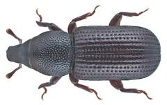 Stereocorynes truncorum (Germar, 1824)