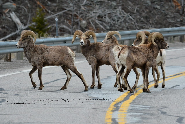 Long Horned Sheep Form A Road Block