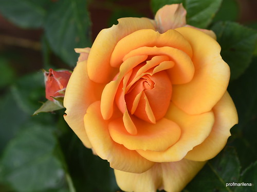 DSC_0132 small orange rose , in my garden, Nikon D810 , cropped