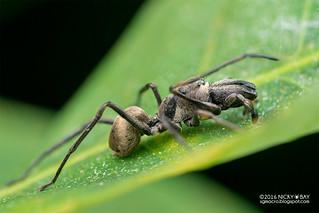 Ant-mimic jumping spider (Toxeus maxillosus) - DSC_1971