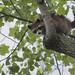 Flickr photo 'Common Raccoon, Procyon lotor (Linnaeus, 1758)' by: Misenus1.