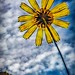 Wildflower and Clouds (free to download) by FotoGrazio