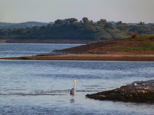 Garza en el Lago Alqueva (Alentejo, Portugal)